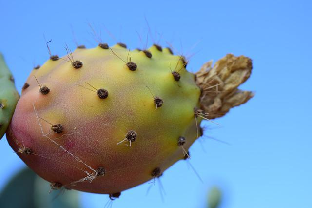 Prickly Pear, Fruit, Cactus, Cactus Fruit