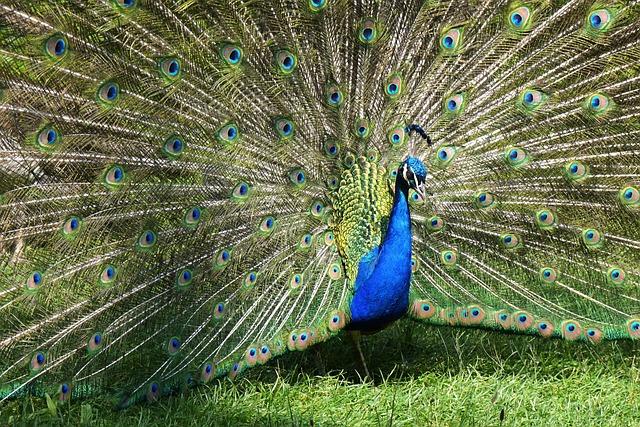Peacock, Balz, Beat Rad, Pride, Peacock Wheel
