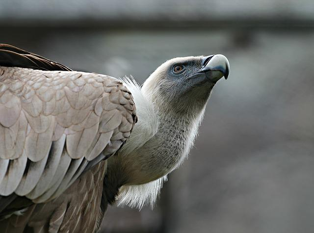 Eagle, Bird, Predator, Vulture, Beak, Watch, Pride