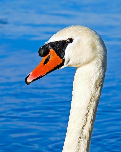 Swan, Proud To Be A Swan, Pride, Water Bird