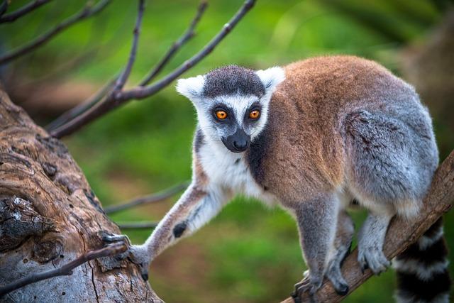 Lemur, Monkey, Primary, Madagascar, Animal, Wild