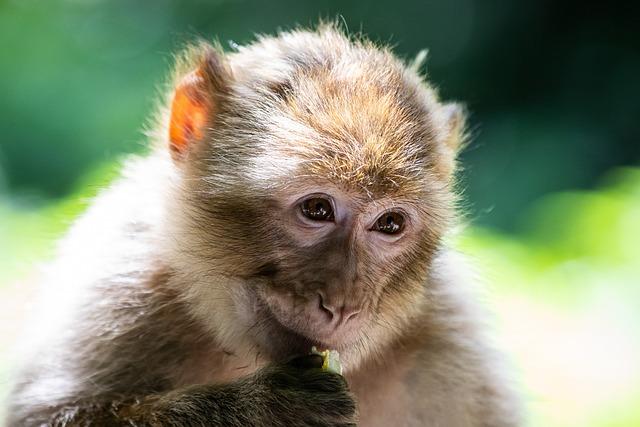 Barbary Ape, Monkey, Primate, Mammal, Animal