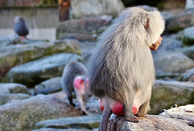 Baboon, Monkey, Primate, Creature, Grey, Animal, Nature