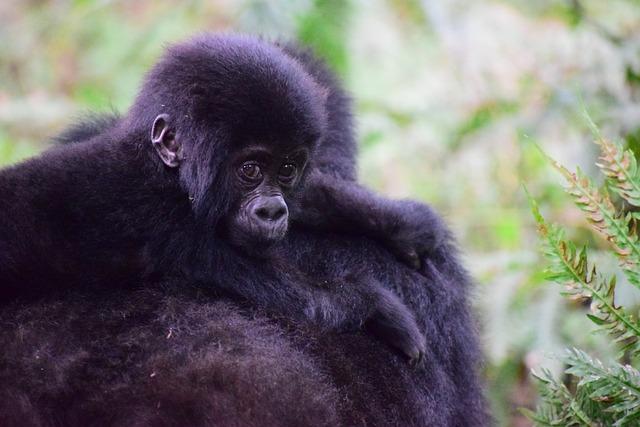 Mountain Gorilla, Uganda, Primate, Ape, Gorilla, Forest