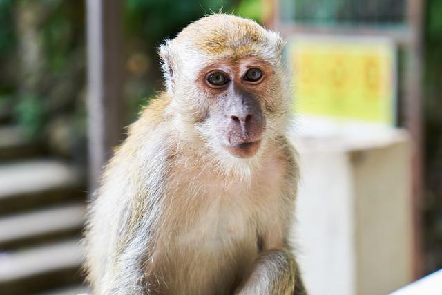Monkey, Cute, Animals, Primate, Portrait, Animal, Asian