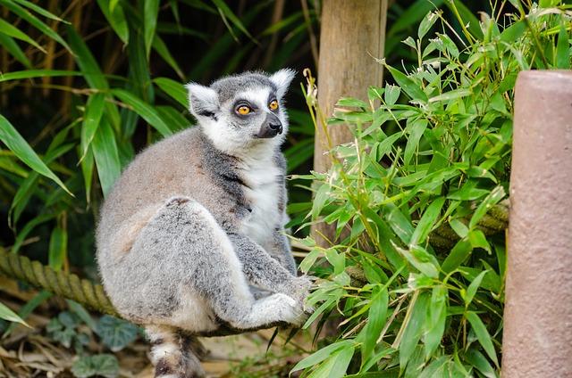 Lemur, Madagascar, Primate, Monkey, Funny, Curious
