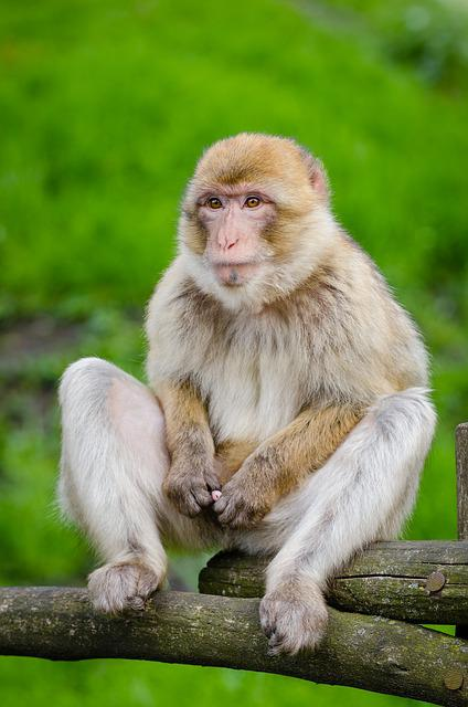 Animal, Cute, Monkey, Primate, Wildlife