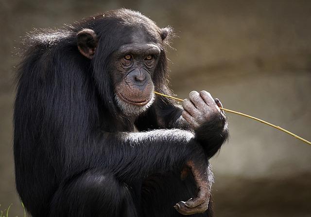 Chimpanzee, Monkey, Ape, Mammal, View, Zoo, Primates