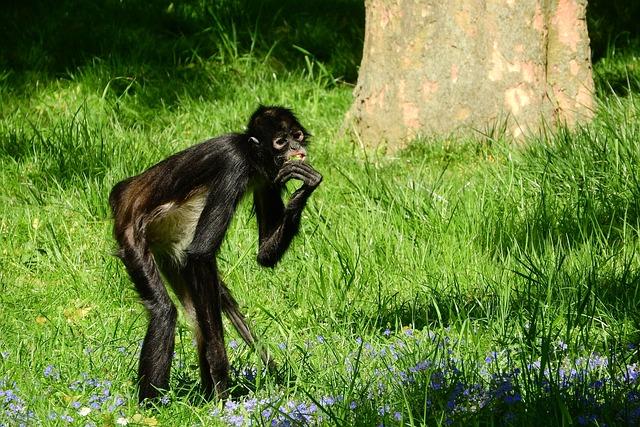 Geoffroy's Spider Monkey, Ateles Geoffroyi, Primates