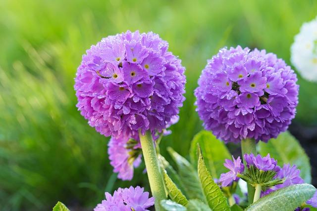 Flower, Purple, Primrose Flower, Prímula, Denticulata