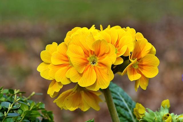 Primrose, Flower, Flowers, Yellow, Bloom, Petals, Plant