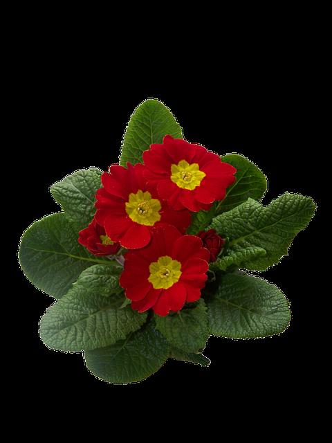 Primrose, Primulaceae, Primrose Greenhouse, Blossom