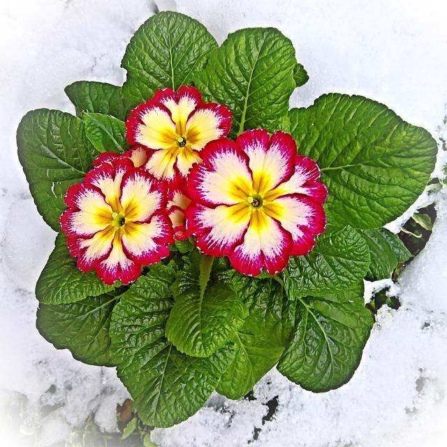 Plant, Primrose, Cowslip, Primula, In The Snow