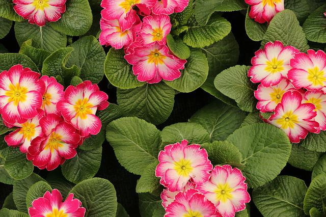 Primroses, Flowers, Spring, Plant, Nature, Colorful