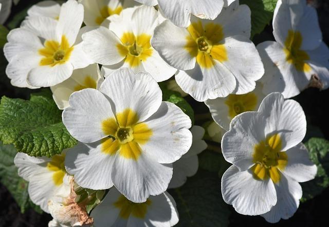 Primrose, Flower, Primula, Primrose Greenhouse