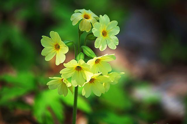 Primula, Spring, Flower, Green, Plant