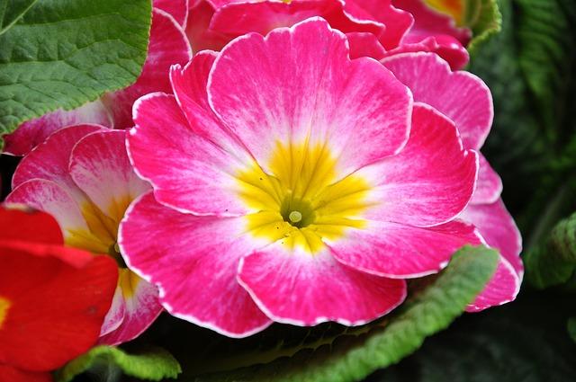 Primrose, Spring Flowers, Pink, Primula