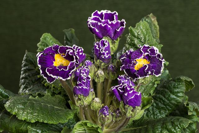 Primroses, Macro, Violet, Primula Vulgaris Hybrid