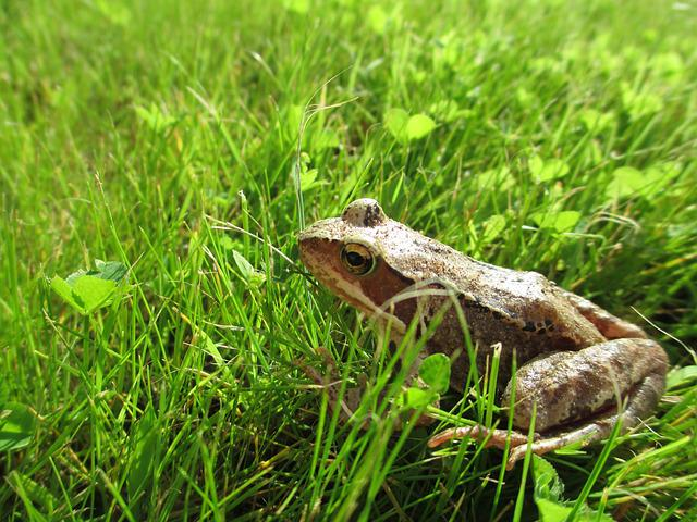 Frog, Common Frog, Prince, Grass, Animal, Amphibian