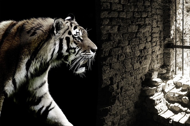 Tiger, Big Cat, Caught, Cage, Dungeon, Prison, Freedom