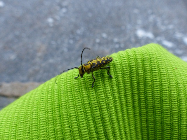 Beetle, Animal, Insect, Probe, Longhorn Beetle