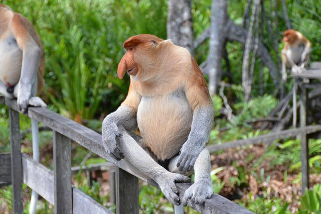 Proboscis Monkey, Primate, Monkey, Long-nosed Monkey