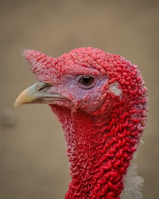 Turkey, Profile, Picture, Bird, Animal, Red, Nature