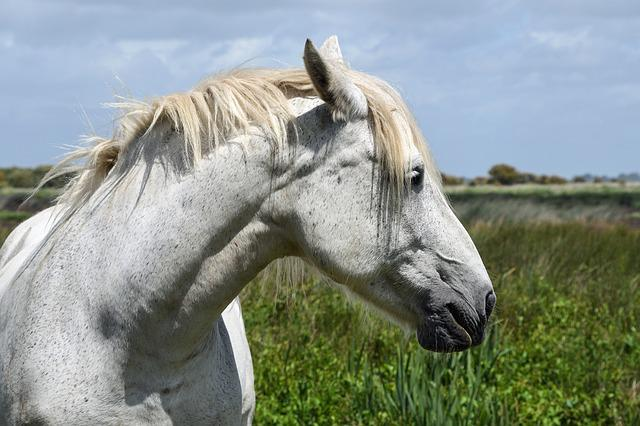 Horse, White, Head, Portrait, Profile