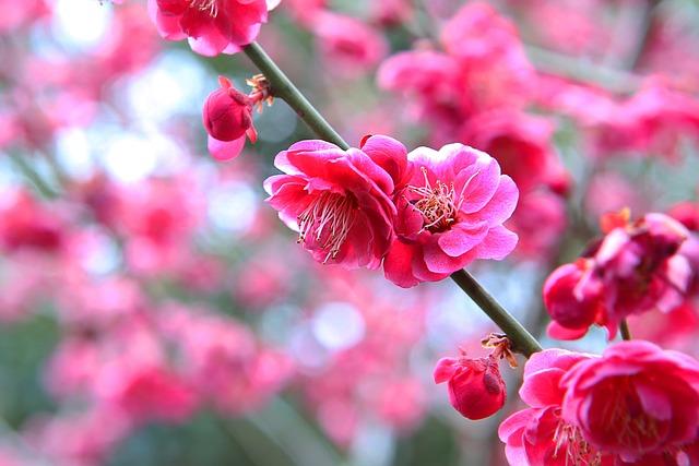 Progress, Ssanggyesa, Red Plum, Flowers, Spring Flowers
