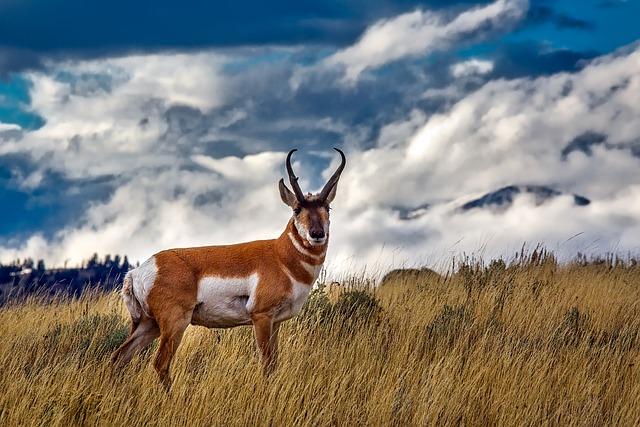 Pronghorn Deer, Animal, Wildlife, Yellowstone