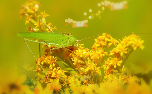 Długoskrzydlak Sierposz, Prostoskrzydłe, Flowers