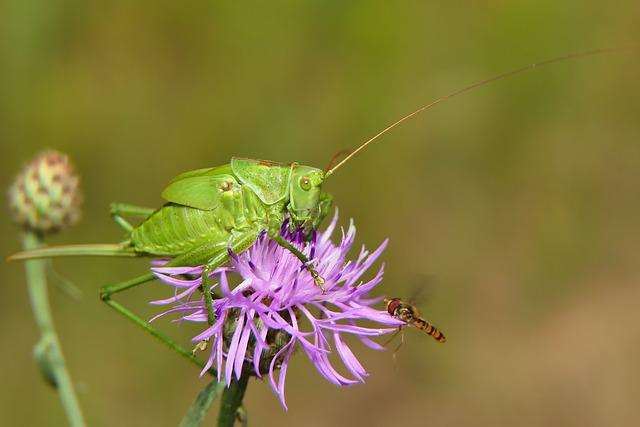 Grasshopper Green, Female, Prostoskrzydłe