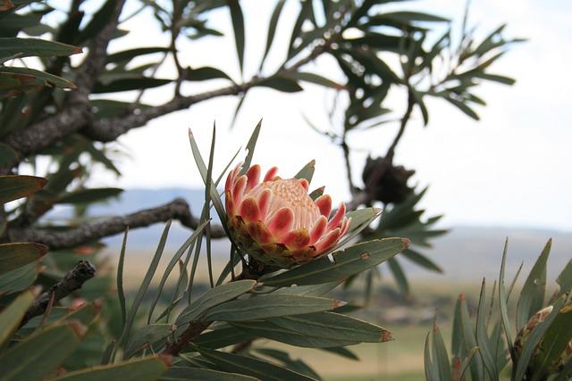Flower, Flora, Plant, Indigenous, Protea, Dark Pink