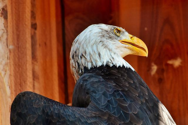 Adler, Bald Eagle, Eyelid, Eye, Protection, Bird