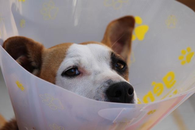 Dog, Dog Head, Protective Collar, Ruff