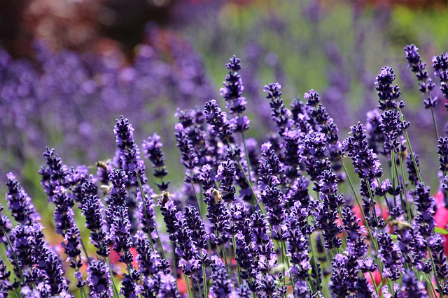 Lavender, The Smell Of, Provence, Herbs, Inflorescence