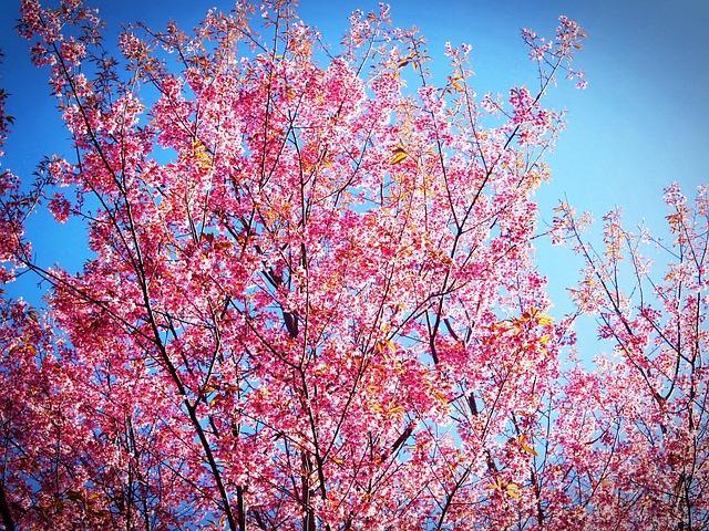 Sakura, Blossom, Prunus Cerasoides