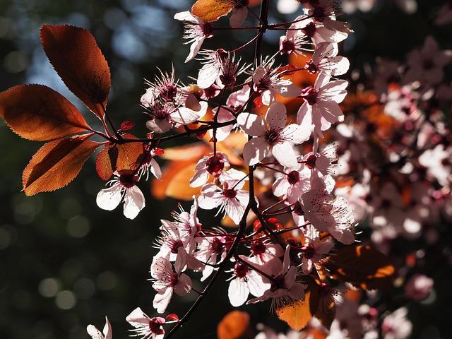Prunus, Prunus Serrulata, Flower, Cherry