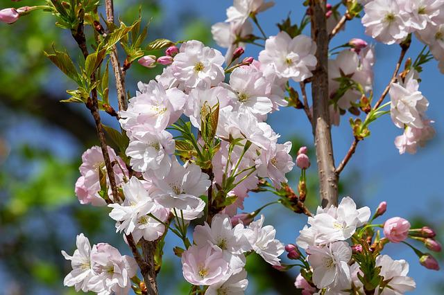Japanese Column Cherry, Prunus Serrulata