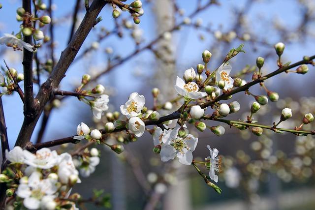 Blackthorn, Flowers, Gems, Prunus Spinosa
