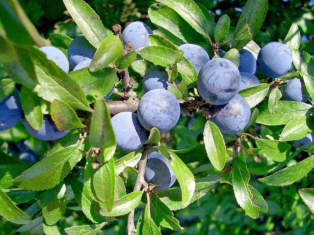Schlehe, Prunus Spinosa, Fruits, Schlehendorn
