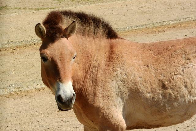 Przewalski's Horse, Mare, Head, Equus Przewalskii