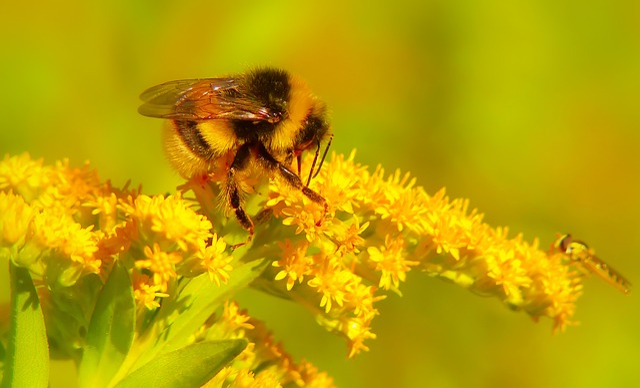 Bumblebee Gas, Pszczołowate, Flower, Apiformes, Animals