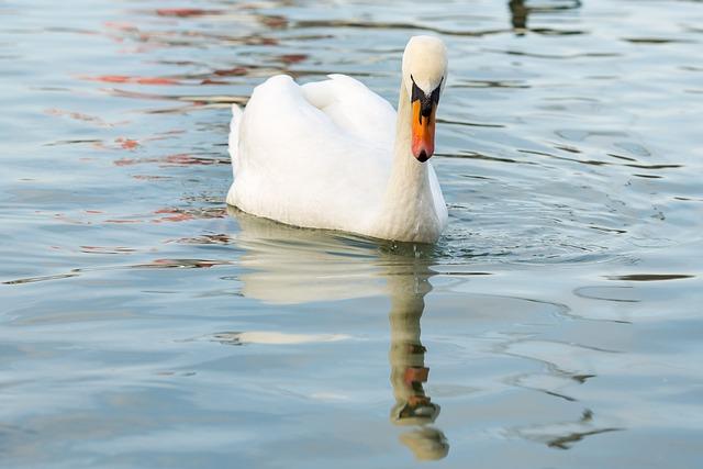 Waters, Bird, Puddle, Lake, Swan