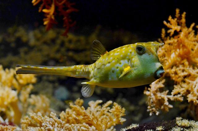 Blowfish, Tank, Tropical, Aquarium, Pufferfish, Coral