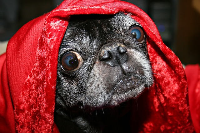 Top Pug Canine Adorable Dog - Pug-Canine-Cute-Funny-Eyes-Pet-Blanket-Dog-2319429  Picture_757325  .jpg