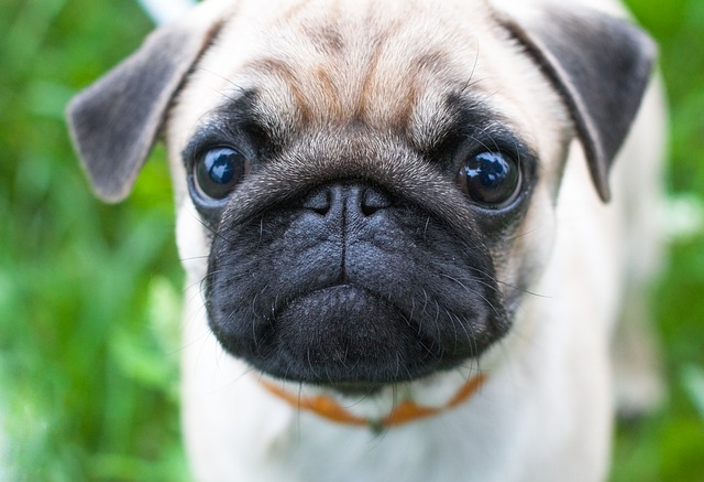 Dog, Cute, Animal, Canine, Pet, Pug, Puppy