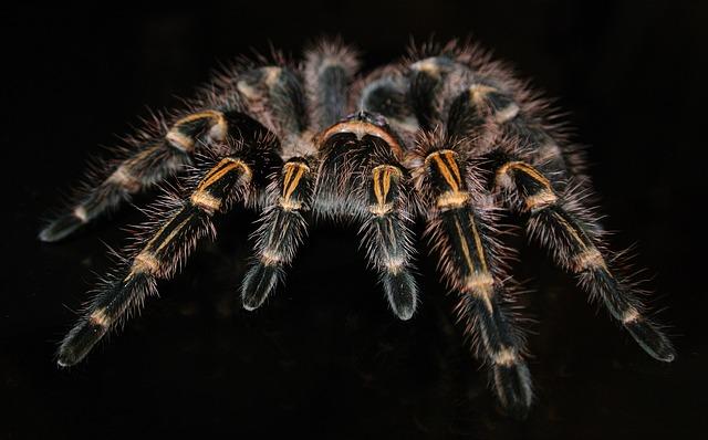 Grammostola, Pulchripes, Tarantula, Spider, Exotic