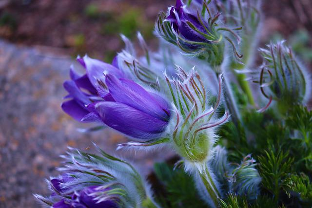 Pasqueflower, Pulsatilla Vulgaris, Pasque Flower