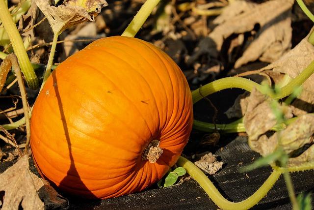Pumpkin, Vegetables, Orange, Bio, Field, Food